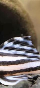 Zebra Harnischwels - Hypancistrus zebra - L46 - über 4cm - Wagenfeld