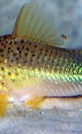 Corydoras Similis - Panzerwelse Similis / Heronimus - SEHR SELTEN - Wagenfeld