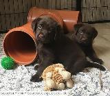 Labrador Welpen in chocolate - mit Papieren - Rehden