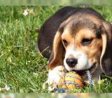 Absolut freundliche Beagle-Welpen - Bremerhaven