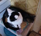 Katzen abzugeben wegen Allergie - Schiffdorf