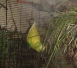 Wellensittiche Gelbköpfchen flügge zu verkaufen in Stuhr bei Bremen - Stuhr
