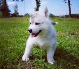 Siberian Husky Welpen - Wingst