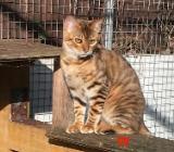 Toyger Katzen suchen ein Zuhause, ähnlich Bengal - Elsfleth
