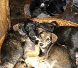 Terrier Mix Welpen - Barnstorf