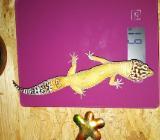 Leopardgecko 1.0 - Damme
