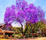 Schnell wachsender Baum/schöne Blüten/Paulownia Garten - Bremerhaven
