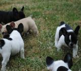 Französische Bulldogge-Welpen- mit Papieren - Vechta