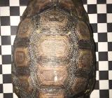 2 männliche Kinixys nogueyi NZ 2015, afrikanische Glattrandgelenkschildkröten - Loxstedt