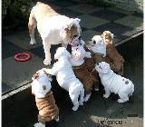 Englisch Bulldog Welpen zu verkaufen jetzt - Diepholz
