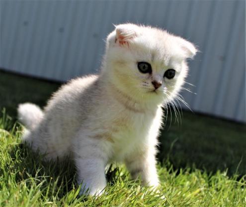BKH Scottish Fold Kitten. - Lastrup