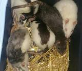 Ratten weibchen - Nordenham