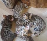 Bengal Kitten - Zetel