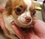 Chihuahua Hündin - Selsingen