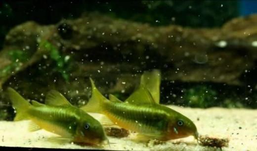 Corydoras Green Stripe - Panzerwelse Green Laser - ca.2,5-3cm - Wagenfeld