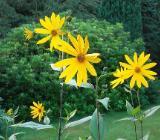 10 Knollen Staudensonnenblume Bienenweide Sonnenblume Staude - Fintel