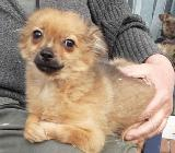 Chihuahua Rüde abzugeben - Saterland