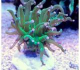 Korallenableger  Euphyllia glabresens - Wildeshausen