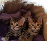 Reinrassige Bengal Kitten - Bremen