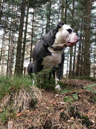 OEB Old English Bulldog - Apen