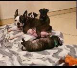 Boston Terrier Mops Welpen suchen ein Zuhause - Bremen
