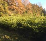 Weihnachtsbäume - Bad Zwischenahn