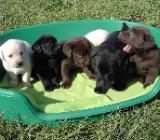 Bildschöne Labrador Welpen mit Papieren bereit. - Oldenburg (Oldenburg)