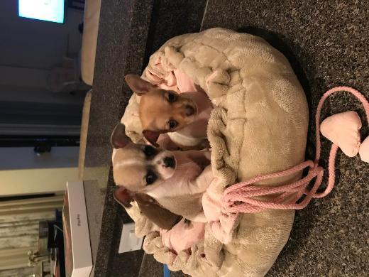 Süsse kleine Chihuahua Welpen abzugen