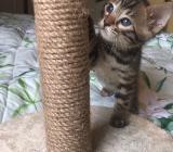Wunderschöne reinrassige Bengal Kätzchen  suchen ein Zuhause liebenswert. - Neuenkirchen-Vörden