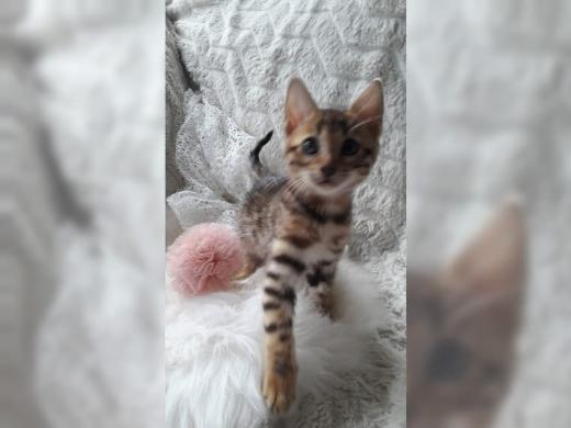 Bengal Kitten reinrassig abgabebereit - Hambergen