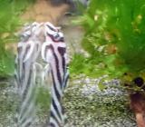 Gruppe Zebra Harnischwelse - Hypancistrus zebra - L46 - 4 Tiere - Wagenfeld