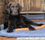 Murphy & Simon: 2 Labrador Welpen in dark chocolate - 13 Wochen alt - bereits vorerzogen - Rehden