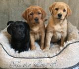 Labrador Welpen in foxred und schwarz - Abgabe bereit - mit Papieren - Rehden