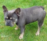 Französische Bulldoggen blue+tan Deckrüde11,5 kg mit Stammbaum - Fintel