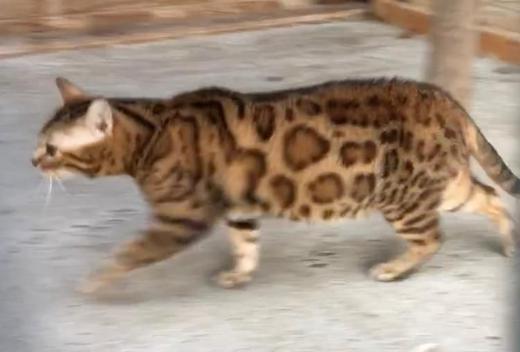 Bengal Katze sucht schönes Zuhause - Elsfleth
