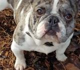 Französische Bulldogge Merle - Zeven