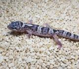 Mack snow Eclipse leopardgecko - Oldenburg (Oldenburg)