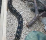 Schlange, Python - Rotenburg (Wümme)