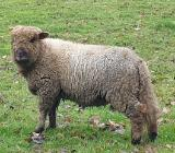 Schafbock Shropshire Lamm - Rastede
