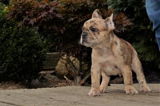 Französische Bulldoggen Welpen in tollen Farben und Optik - Bösel