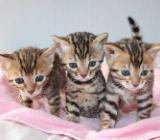 Süßes Bengal Kätzchen - Bremen