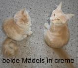 Verschmuste Maine Coon Kitten, noch 2 Mädels in creme, gemeinsam oder einzeln - Bad Bederkesa
