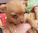 Chihuahua Babys abzugeben - Saterland