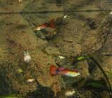 kleine und große Guppys - Visselhövede