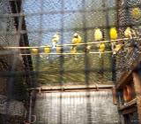 Kanarienvögel Bunt von 2019 - Ritterhude