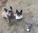 Französische Bulldogge 4 Jahre abzugeben - Ganderkesee