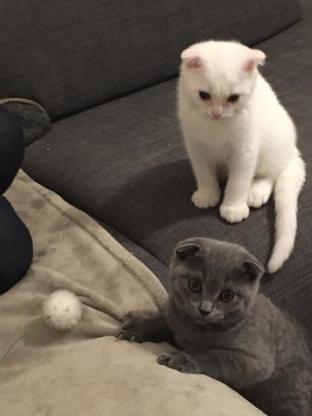 BKH Kitten suchen Ihr neues Zuhause - Delmenhorst