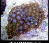Korallenableger - Wildeshausen