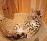 Reinrassige Bengal und savannah Kitten - Damme