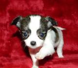 Mini Chihuahua Welpen (weiblich) &(männlich) bereit. - Bremen